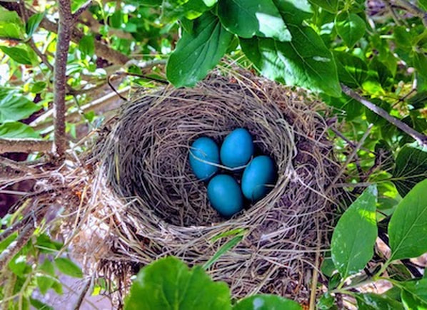 robin's nest with 4 eggs